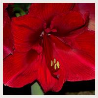 Jardin d 39 hubert for Arrosage amaryllis floraison