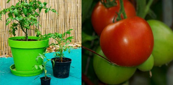 Jardin d 39 hubert - Quand planter tomates pleine terre ...