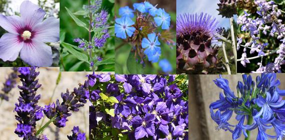 Jardin d 39 hubert - Plante grimpante fleur bleue ...