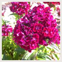 Jardin d 39 hubert - Oeillets de poete ...