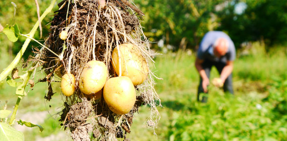 Jardin d 39 hubert - Arrosage pomme de terre ...