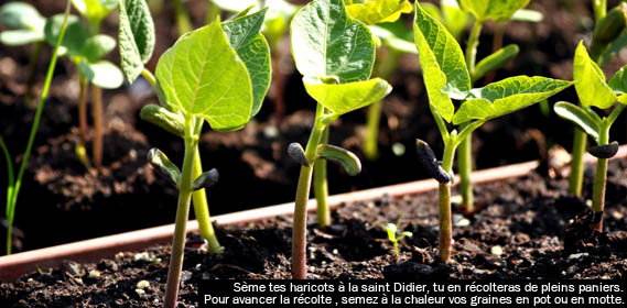 Jardin d 39 hubert - Semer les haricots avec la lune ...